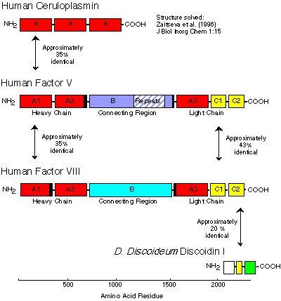 Figure 2 Domain Structure Of Ceruloplasmin Factor V And VIII